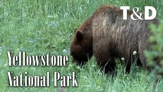 Yellowstone Natural Park Landscapes and Wildlife - Travel & Discover